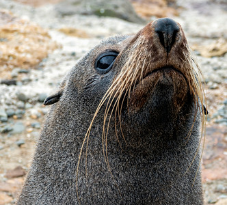 Wary Fur Seal