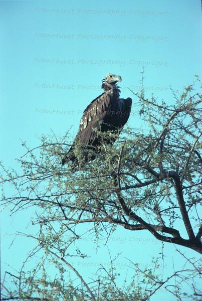 Nubian Vulture in tree