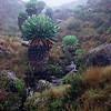 Marangu Route Giant groundsel