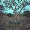 Nubian Giraffe in Waza
