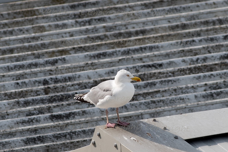 Gull gaurds chicks