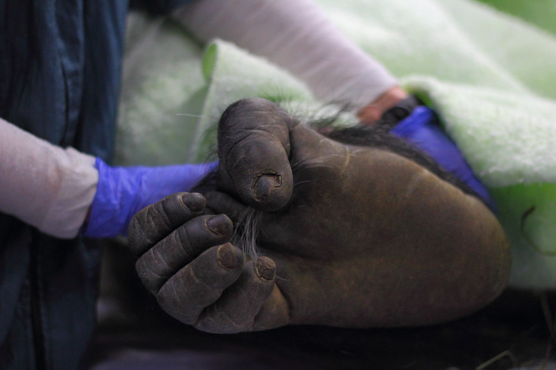 Vip, a 35 year old silverback male lowland gorilla, gets a health check up from veterinary team at the Woodland Park Zoo. Here, his right foot shows signs of age-related arthritis in his big toe. Vip left the exam room with a clean bill of health and a good dose of carrots, his favorite food.