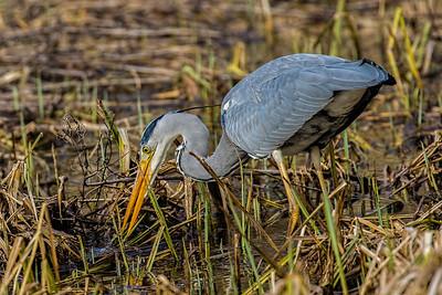 Grey Heron ~ Fiskehejre