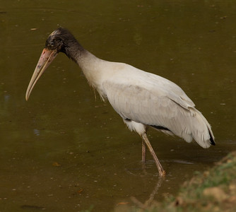 Wood Stork  Rancho Primavera  Jalisco Mexico 2013 03 15 (1 of 3).CR2