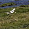 Eurasian Spoonbill - Skestork