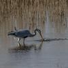 Grey Heron - Fiskehejre
