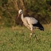 White Stork - Hvid Stork