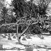 Tree 1 b&w - 277dpi