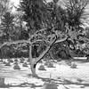 Tree 1 b&w