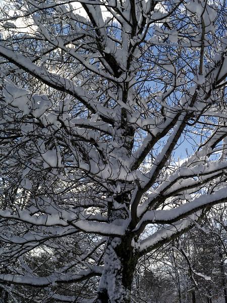Tree & snow 1
