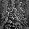 Tree 3 b&w