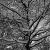 Tree & snow 1 b&w