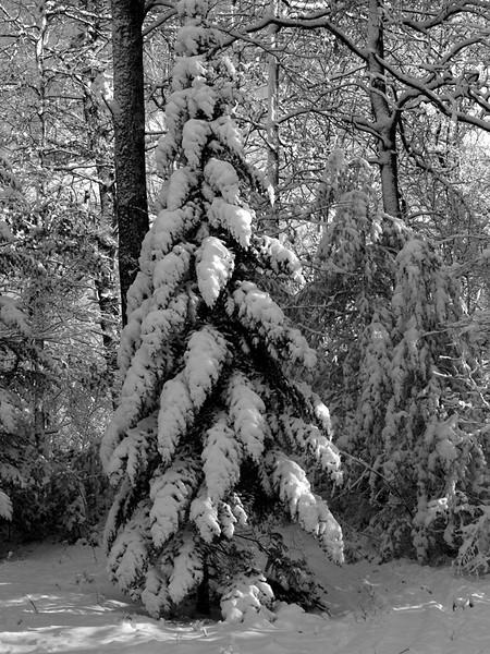 Tree 2 b&w