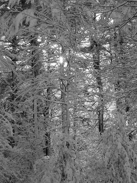 Trees 1 b&w