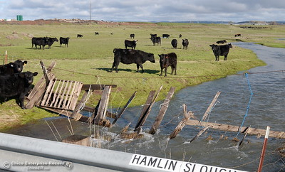 Happy California Cows are seen near Hamlin Slough along the Oroville Chico Highway south of Chico, Calif. Wed. Jan 11, 2017. (Bill Husa -- Enterprise-Record)