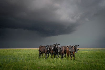 Cows Exposed to Incoming Violent Hailstorm