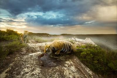 Tigers NEW