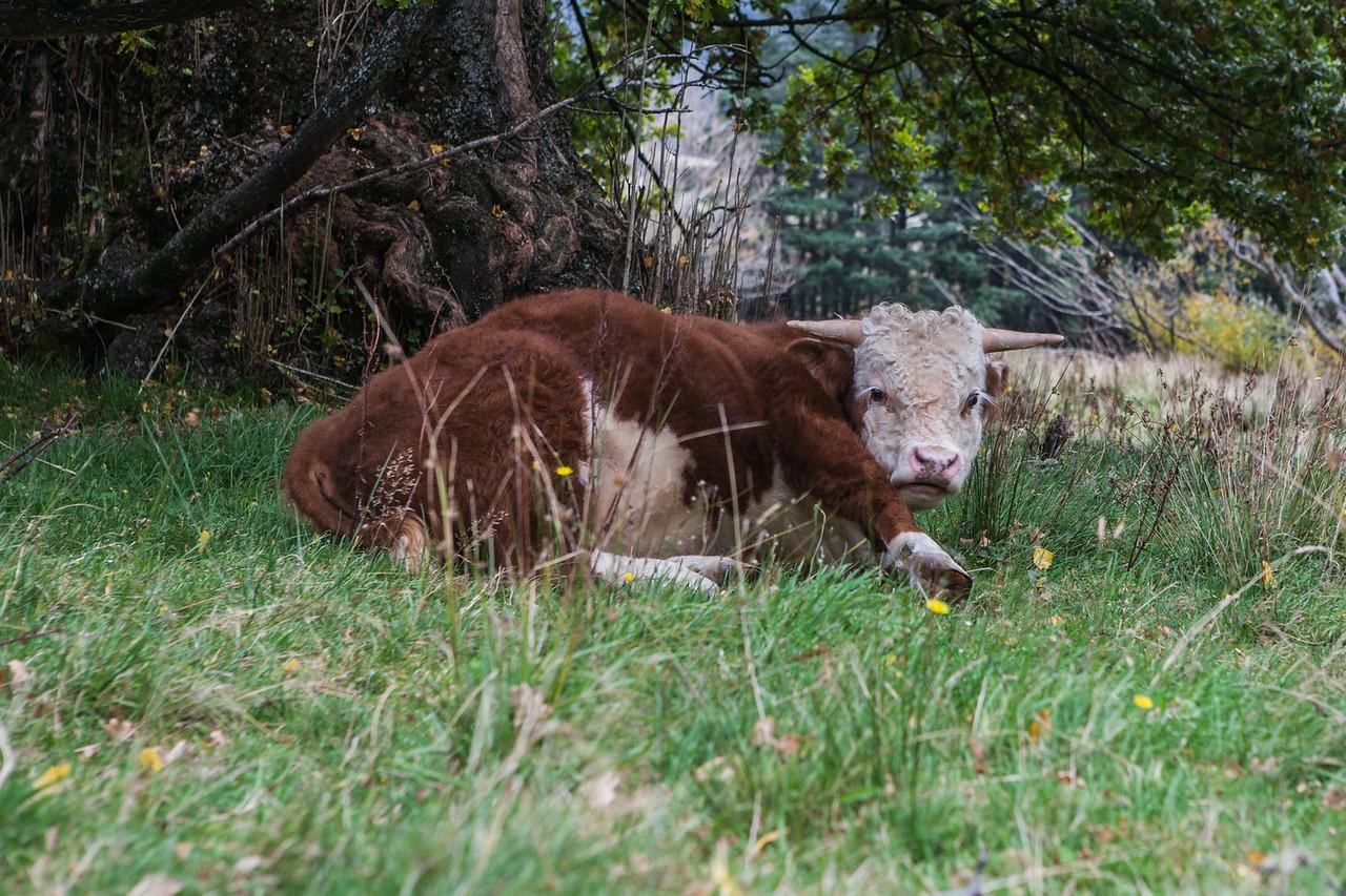 Resting cow at Makaroa, New Zealand