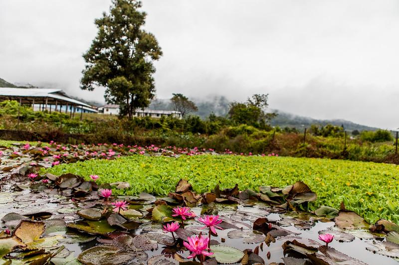 Lotus pond in the Gori village of Basar, Arunachal Pradesh, India