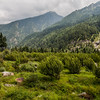 Landscape of apple orchards and tall pine trees in the village of Harshil in the Garhwal Himalayas of Uttarakhand