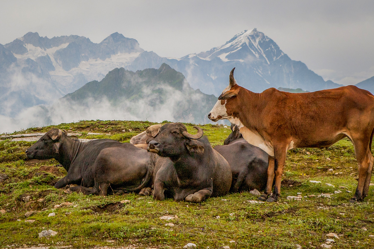 Cattle at Rohtang Pass on the Manali Kaza route to Spiti valley