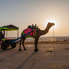 Camel ride at White Rann Resort in Kutch, Gujarat, India