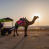 Camel ride at White Rann Resort in Kutch, Gujarat, India