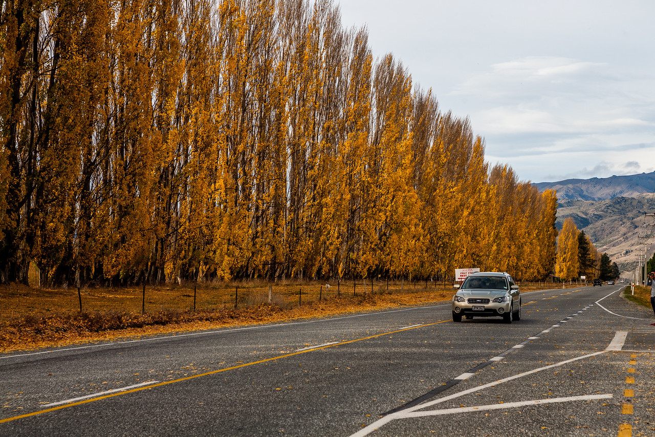 Driving in the golden colours of fall through Wanaka in the South island of New Zealand