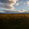 The Malborough vineyards, New Zealand