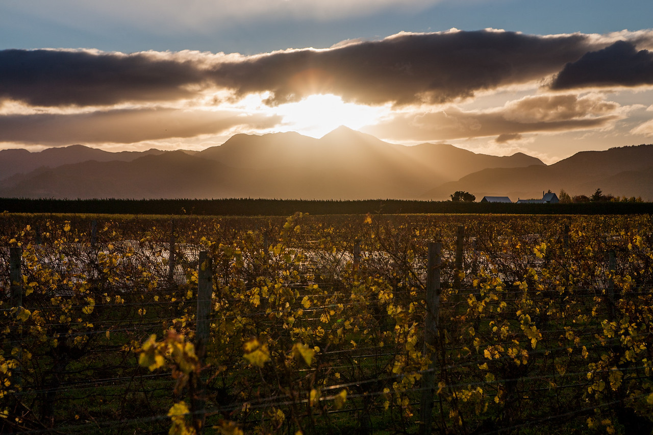 The Malborough vineyards, New Zealand