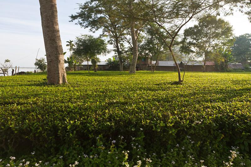 Tea gardens near the Dibru Saikhowa Wildlife Sanctuary in Assam, India