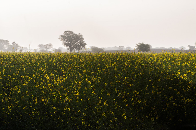 Mustard fields in Jaipur, Rajasthan, India