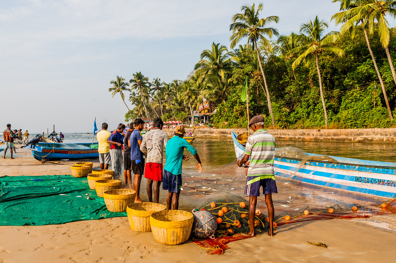 Fishermen busy in collecting their catch of mackerel in the morning at the Baga beach in Goa