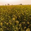Mustard fields in Jaipur, Rajasthan, India
