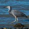 White-faced heron, Motueka, New Zealand