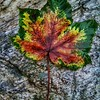 Interesting leaf on the way to Dayara Bugyal, a high altitude meadow in Uttarakhand