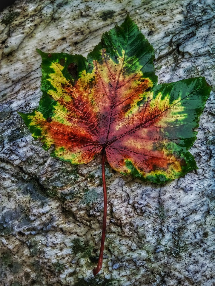 Interesting leaf on the way to Dayara Bugyal, a high altitude meadow in Uttarakhand