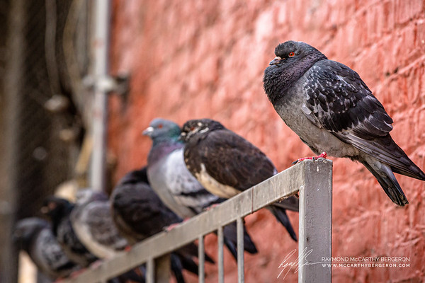 Pigeons perch on a railing in an Alley.