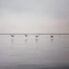 A flight of Peruvian pelicans at Islas Ballestas, Peru