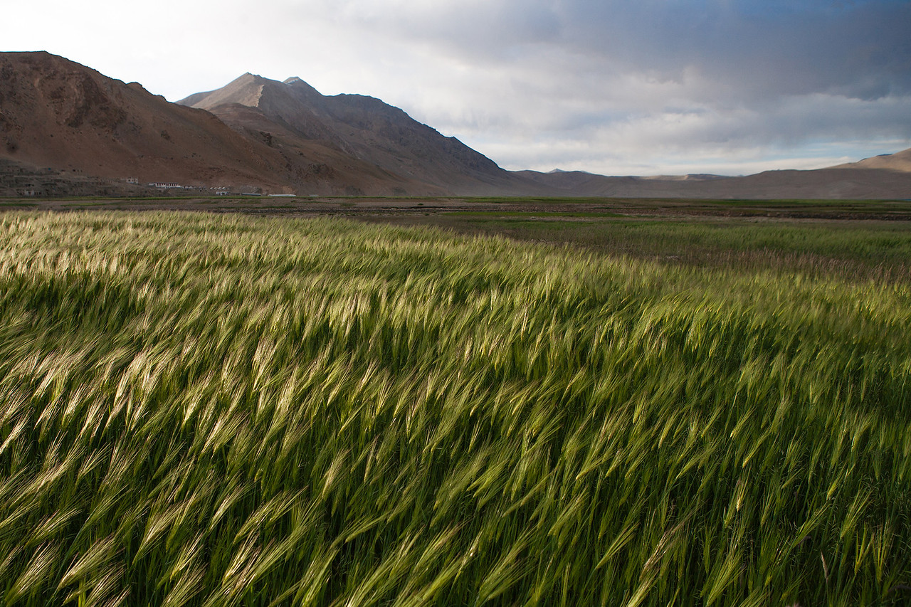 Barley fields - Tso Moriri, Ladakh, India