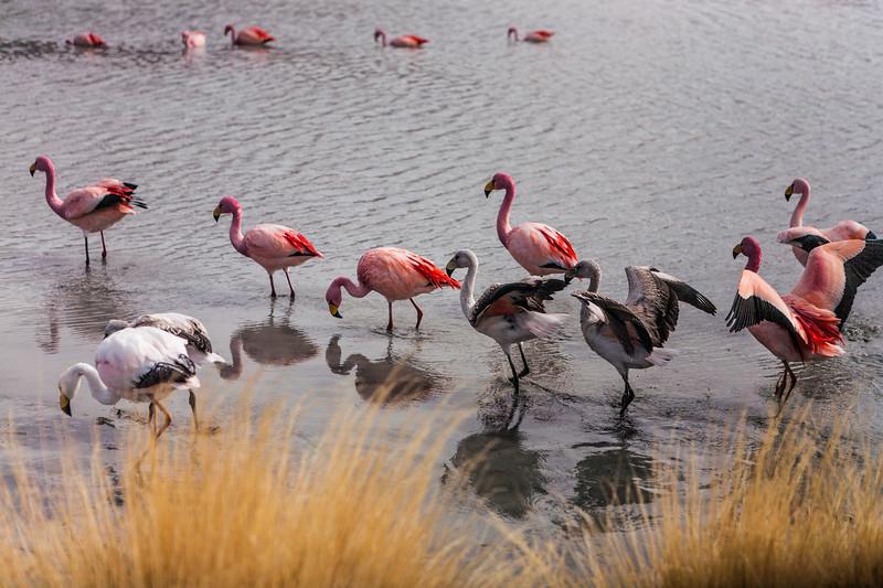 Chilean and Andean flamingoes enroute Salar de Uyuni, Bolivia