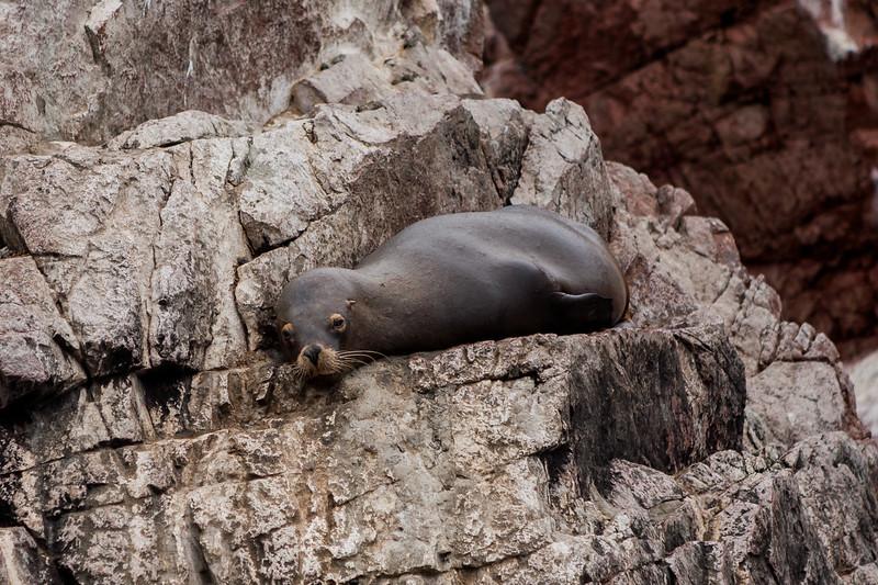 Sealion at Islas Ballestas, Peru