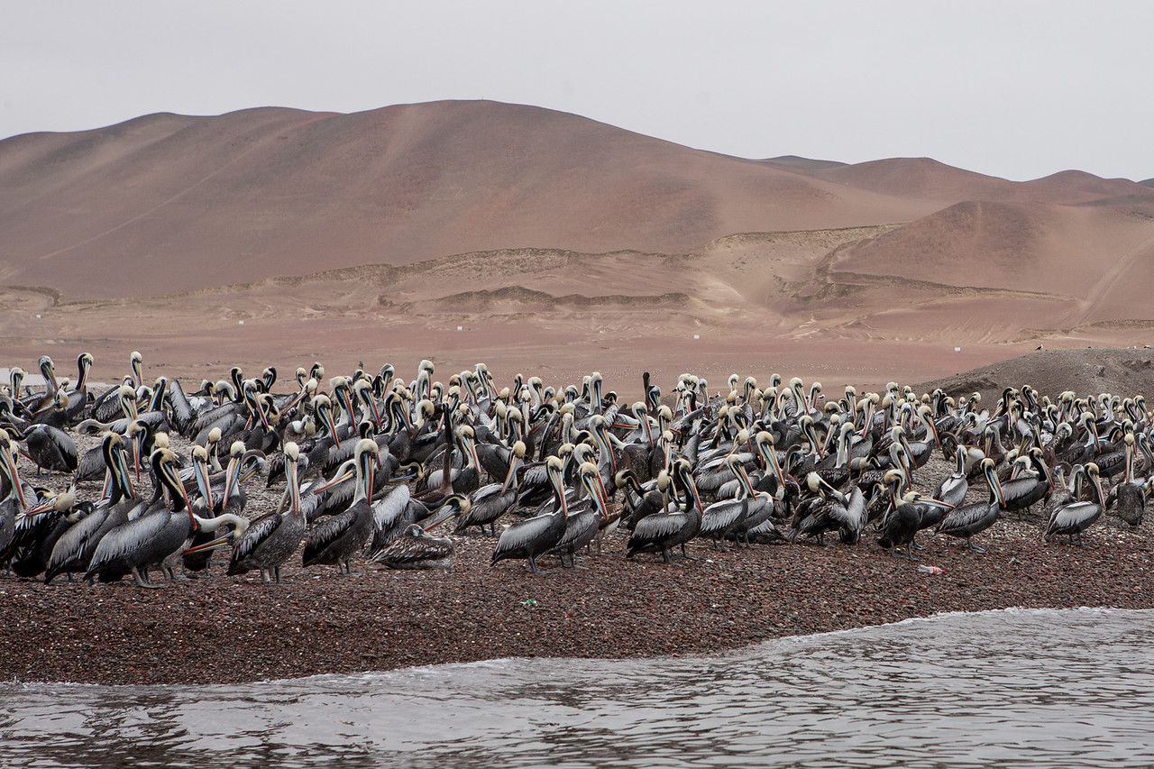 Colony of Peruvian Pelicans on Islas Ballestas, Peru