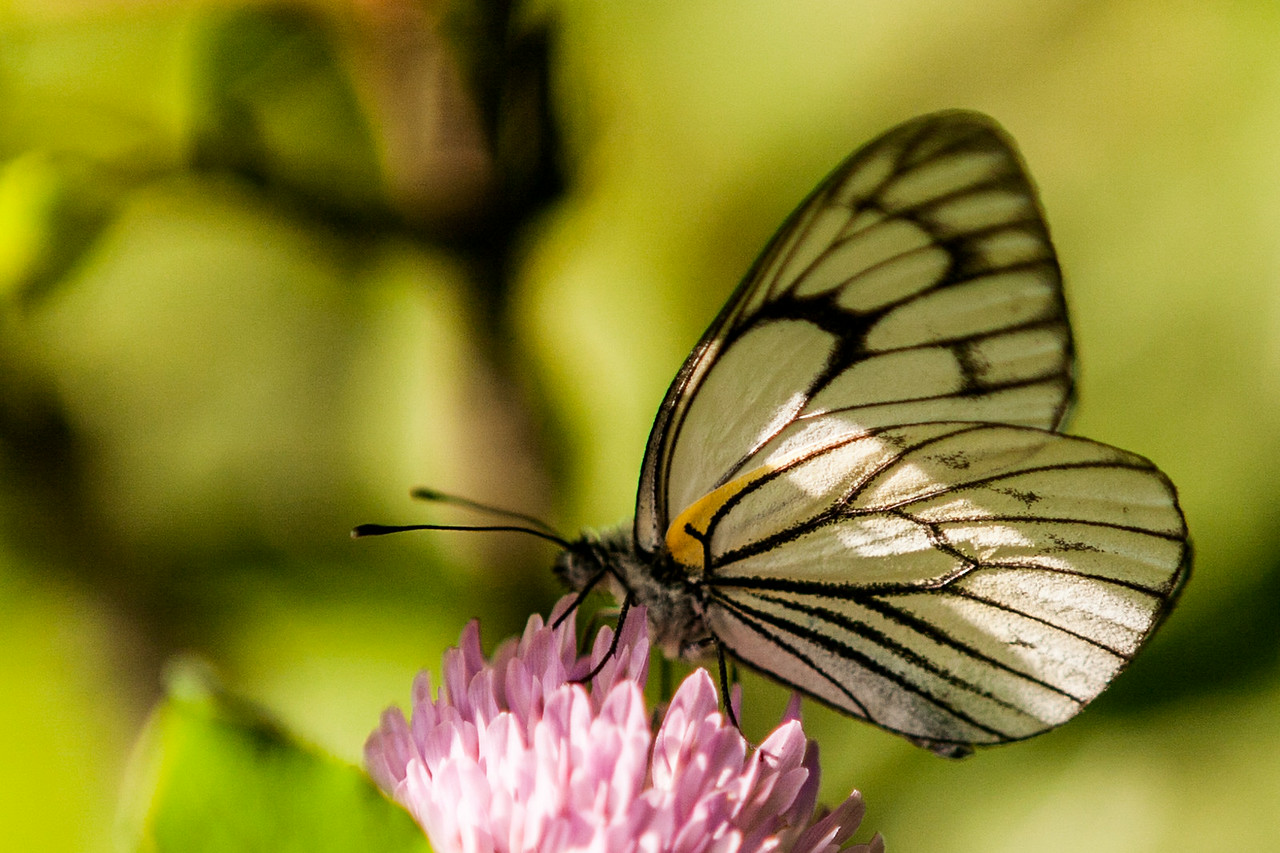 Butterfly at Sanasar, Kashmir, India