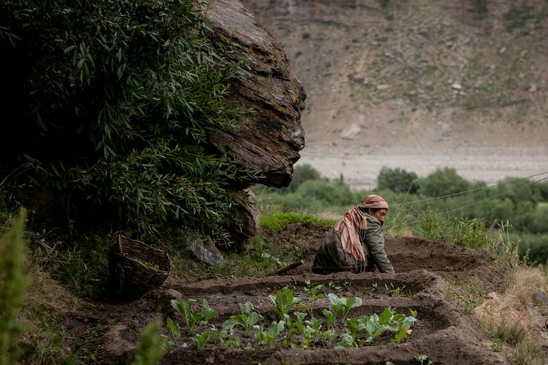 Summer farming in Zanskar, India