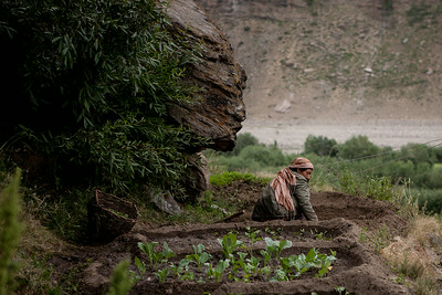 Summer farming in Zanskar, India