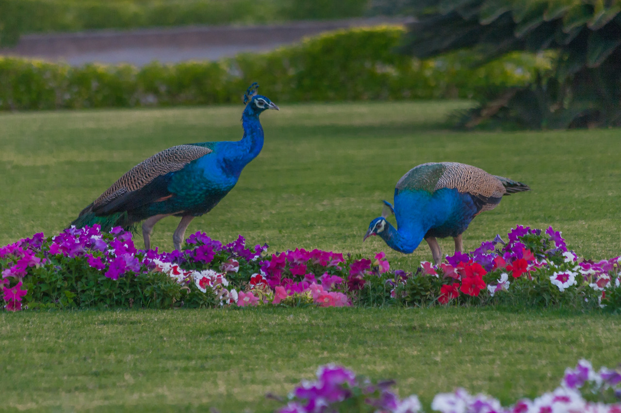 Peacocks in the Royal Garden at Vadodara, India