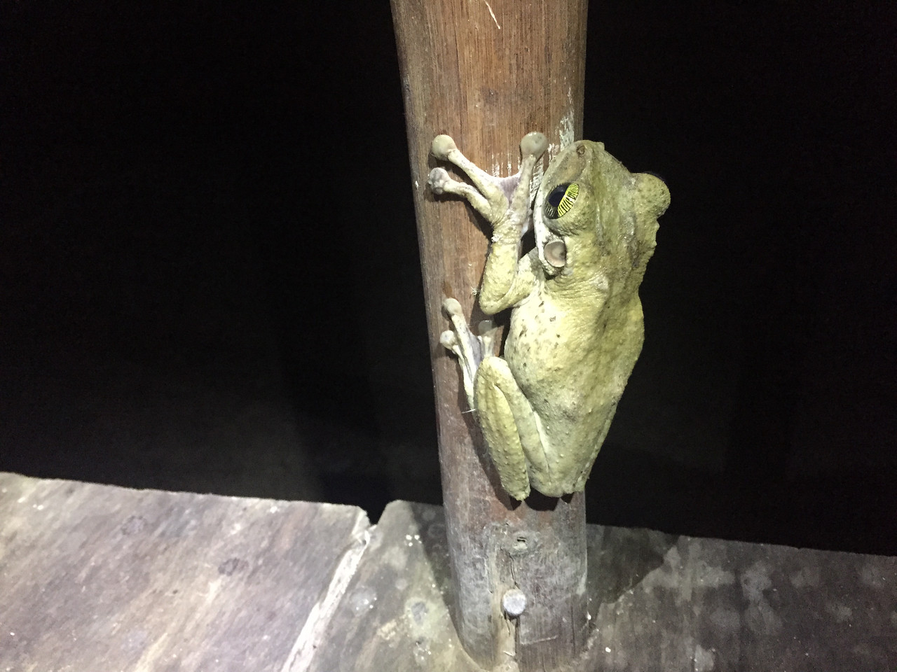 Frog inside our lodge, Amazon, Peru
