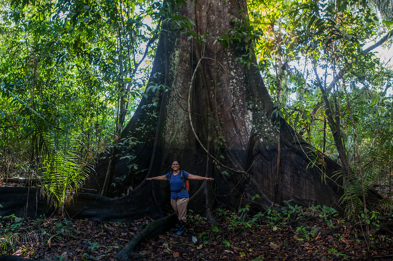 Wide trees of Amazon, Peru