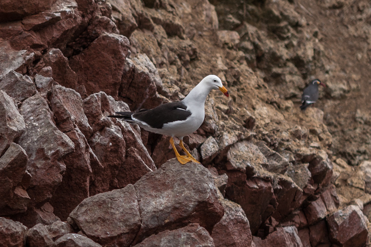 Peruvian gull at Islas Ballestas, Peru